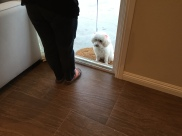 Kayla the Maltipoo respecting thresholds