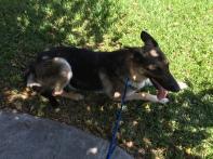 Maggie taking a break in the grass