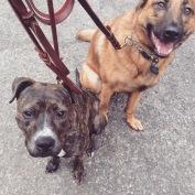 Roxy and Prissy walk