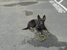 Odin puppy training